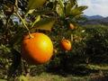 橙(だいだい)広島県産 農薬肥料不使用 1キロ