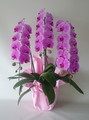 ピンク大輪胡蝶蘭3本立 最高級品