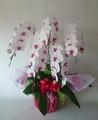白赤リップ大輪胡蝶蘭5本立 高級品