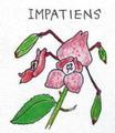 18 インパチエンス