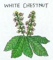35 ホワイトチェストナット