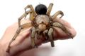 オオクロケブカジョウゴグモ 超特大個体