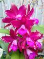 多花性カトレアNo.488