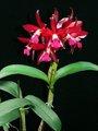 多花性カトレアNo.598
