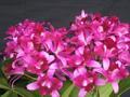 多花性カトレアNo.639