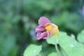 10粒 Nasturtium caribbean storm 種子