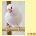 ポストカード「白文鳥2」(DGY0030)