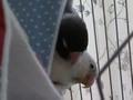 小さめ鳥テント