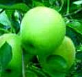 プロ仕様/青リンゴ10エードmetro