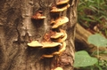 レイシ・マイタケ・シイタケ・アガリクスの内、3種が一度に摂れるキノコの力