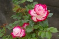 キレイな秋バラを咲かせるための夏剪定講座@JA東京むさし