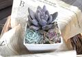 ■紫麗殿パキ,エケ寄せ7㎝角P