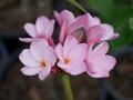 【限定1鉢】希少種のプルメリア Siam Pink Pudica 苗木・4号サイズ(香りのあるピンクプディカ)