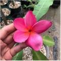 【特別SALE! 通常価格の20% OFF】限定1鉢・鉢植えプルメリア 'Pink Lovers' 接木苗(越冬株・4号鉢)・日本初登場の巨大輪