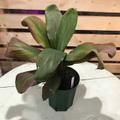 【1点モノ・希少種】ティーリーフの木 Ti Plant 'Salvador Dali'  5号ロングスリット鉢(とても希少なブラウン葉品種)