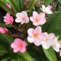 【国産カット苗】3本限定! ショキングピンクが美しいプルメリア 'Viva' カット苗 (発根促進処理済み苗をお届け)