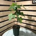 【希少種】ハワイ州の木・ククイ Kukui  5号ロングスリット鉢(絶滅危惧種)