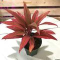 【希少種・1点モノ】珍しいブライトレッド葉! ティーリーフの木 Ti Plant 'Caripso'  4号ロングスリット鉢