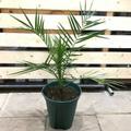 【耐寒性のヤシ】カナリーヤシ Canary Palm  7号ロングスリット鉢(耐寒性-5℃)南国のお庭造りにもオススメ!
