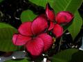 【1鉢限定】黒スジが個性的な大人色の赤花プルメリア 'Black Tiger' 苗木・4号鉢