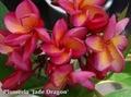【特別SALE! 通常価格の50% OFF】鉢植えプルメリア 'Jade Dragon' 接木苗(越冬株・4号鉢)
