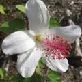 【ハワイ固有種】希少なハワイの原種ハイビスカス 'Punaluuensis' 3号ポット苗