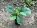 【実生苗】実生プルメリアの苗木(越冬済みの2年生株)接木の台木用として好適