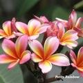 【特別SALE! 通常価格の20% OFF】鉢植えプルメリア 'Petite Rainbow' 接木苗(越冬株・4号鉢)