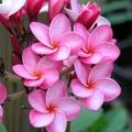 限定2鉢・フロリダ生まれのアメリカンチェリーの香りのするプルメリア 'Cool Aid' 苗木(3年越冬株・5号鉢)
