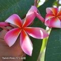【特別SALE! 通常価格の20% OFF】幻のプルメリア 'Tahiti Pink' 苗木(接木苗・3.5号鉢)・世界的に希少なバリ島品種 【1鉢限定】