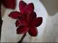 【輸入困難になった希少品種】限定1鉢・バリ島生まれの超希少種のプルメリア 'Bali Maroon' 接ぎ木苗(越冬株・4号鉢)・バリ島からの輸入が不可となったため在庫限り!