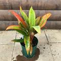 【希少種・鉢限定】ティーリーフの木 Ti Plant 'Koo' Lau'  5号ロングスリット鉢