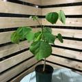 【希少種】サーフボードの木・ウィリウィリ Wili Wili  5号ロングスリット鉢(絶滅危惧種)