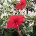 【斑入り品種】葉がとても美しい赤花ハイビスカス 'Mauna Kea Snow' 3.5号ポット苗