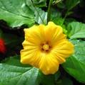 【希少な大輪イリマ】漆黒のステムが美しい立性のイリマ Illima 'Black Coral Illima'  3.5号スリットポット(在来のイリマよりも一回り大きい花が咲きます)