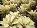 【特別SALE! 通常価格の40% OFF】希少種・鉢植えプルメリア 'Maya' 接木苗(越冬株・4号鉢)