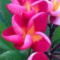 【4月下旬以降発送】幻のバリ島品種のプルメリア 'Red Jamaica ' 苗木(接木苗・3.5号鉢)・世界的に希少なバリ島品種 【1鉢限定】