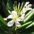 【国産カット苗】2本限定・希少なジャマイカの原種系常緑品種のプルメリア 'Jamaicensis' ジャンボカット苗(発根促進処理済みの国産カット苗)超ロング