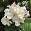 【特別SALE! 通常価格の40% OFF】人気品種・鉢植えプルメリア 'Hawaiian White 接木苗(越冬株・4号鉢)