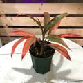 【1点モノ・希少種】ティーリーフの木 Ti Plant 'Joha Cumins'  5号ロングスリット鉢(とても鮮やかなオレンジ葉品種)
