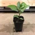 【希少種】香りの良い花を咲かせるタヒチアンガーデニア・ティアレタヒチ Tiare Tahiti 5号スリット鉢(通常よりもボリュームのある大きめの株をお届けします)