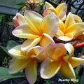 【鉢植え】プルメリア 'Peachy King' 苗木(越冬株・4号鉢)・大輪のフロリダ品種