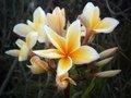 【1鉢限定】希少な黄花のスジ花系のプルメリア 'Aura'  苗木・ワンサイズ上の5号サイズ