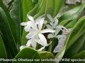 【特別SALE! 通常価格の20% OFF】本年初リリース! 希少な原種系常緑品種のプルメリア 'Sericifolia' 接ぎ木苗(接ぎ木苗は初リリースです!)