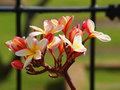 【特別SALE! 通常価格の20% OFF】初上陸・人気の米国系プルメリア 'Waiola Rainbow' 鉢植え苗木