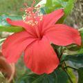 【ハワイ固有種】ハワイの原種ハイビスカス 'Kokio' 3号ポット苗