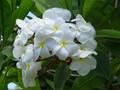 初心者の方にお勧め! 育てやすく咲かせやすい米国の銘花プルメリア 'Samoan Fluff' 接木苗(4号スリット鉢)