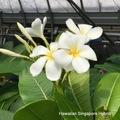 【農園での引取り限定】限定1鉢・希少種のプルメリア 'Hawaiian Singapore Hybrid' 接木苗(ブラックティップにならない夢のシンガポールホワイト交配種)7年生の実生株に接ぎ木して、更に3年育成した大株