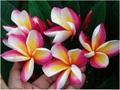 【特別SALE! 通常価格の40% OFF】鉢植えプルメリア 'Sang Arung' 接木苗(越冬株・4号鉢)