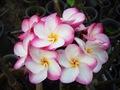 【2鉢限定】美しい花を咲かせるプルメリア 'Kasem Delight' 4号鉢